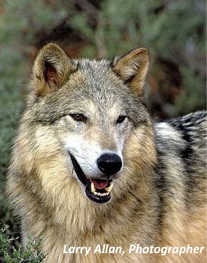 larry-allan-photo-wolf.jpg